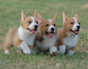 208632-dogs-adorable-corgi-puppies-running-ddddd